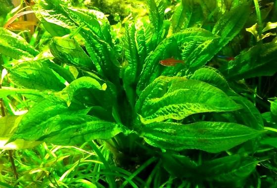 Эхинодорус мелкоцветный Тропика - Echinodorus parviflorus Tropica