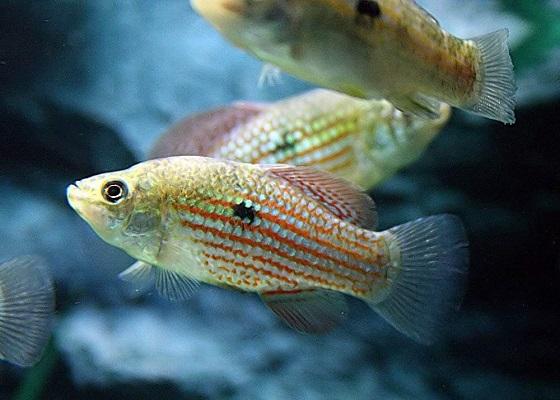 Джорданелла флоридская в аквариуме