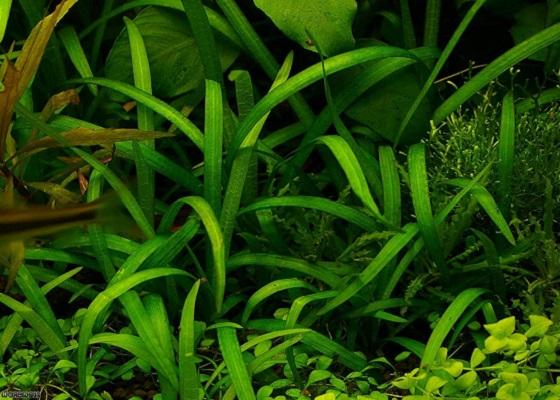 Стрелолист карликовый - Sagittaria spec.