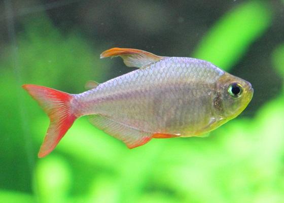 Фото - Hyphessobrycon columbianus