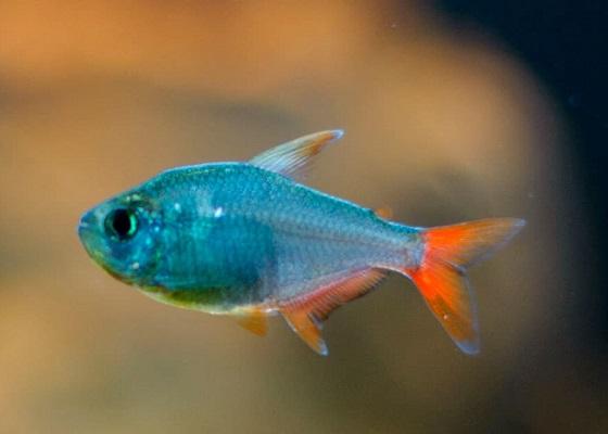 Тетра колумбийская в аквариуме