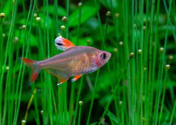 Орнатус белоплавничный в аквариуме
