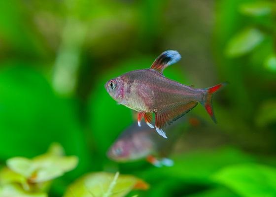 Фото - Hyphessobrycon sp white fin
