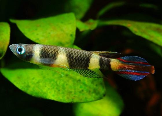 Pseudepiplatys annulatus в аквариуме