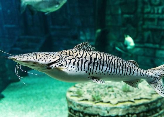 Псевдоплатистома тигровая в аквариуме
