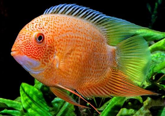 Дискус ложный в аквариуме