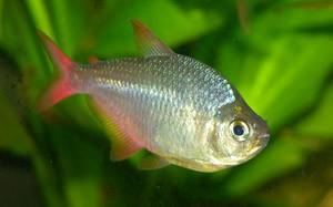 Хифессобрикон эквадорский