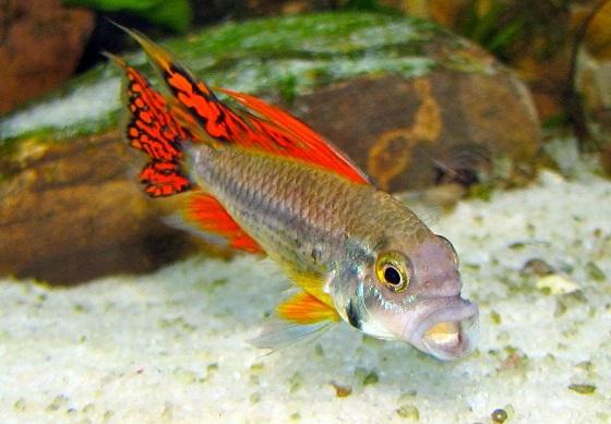 Apistogramma cacatuoides в аквариуме
