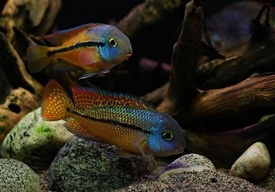 Cichlasoma nicaraguense в аквариуме