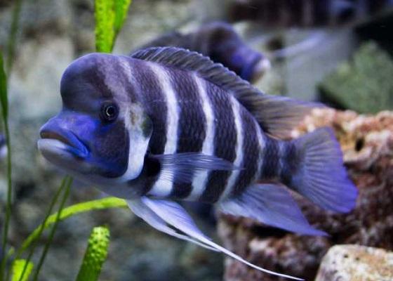 Фронтоза в аквариуме