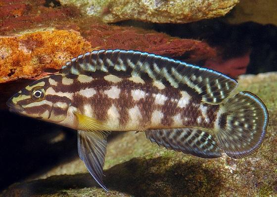 Julidochromis marlieri в аквариуме