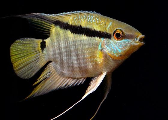 Аквариумная рыбка цихлазома Мезонаута