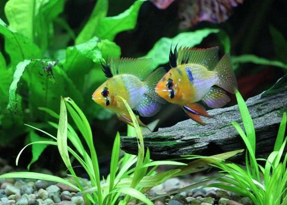 Апистограмма Рамиреза - в аквариуме