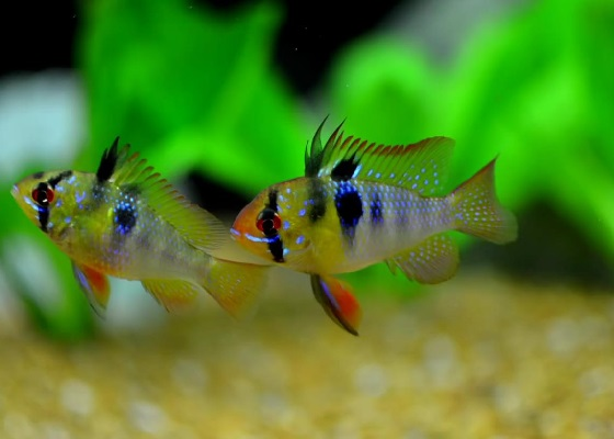 Microgeophagus ramirezi в аквариуме