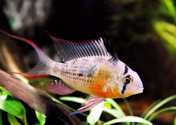 Апистограмма альтиспиноза - Papiliochromis altispinosa