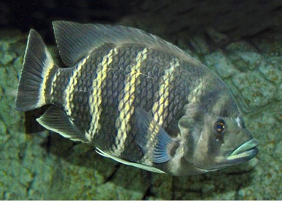 Тиляпия Буттикофера в аквариуме