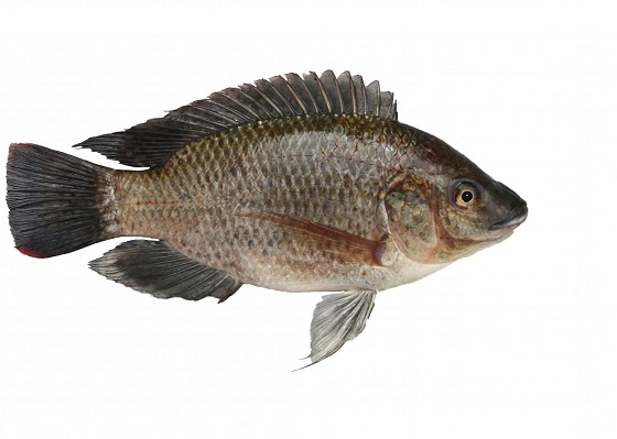 Тиляпия мозамбикская