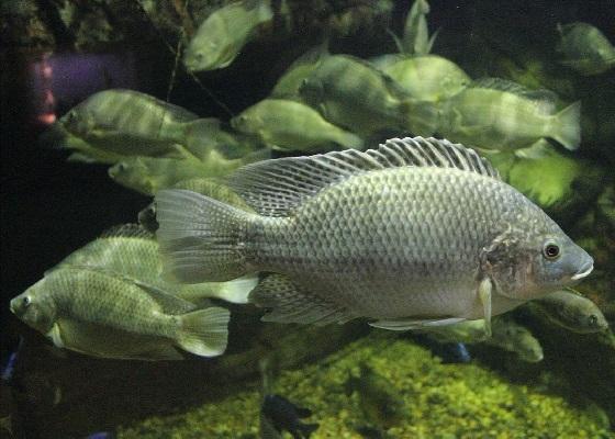 Tilapia mossambicus