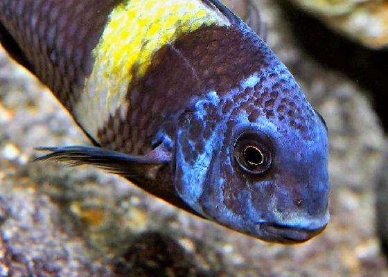 Трофеус Дюбуа звездчатый в аквариуме