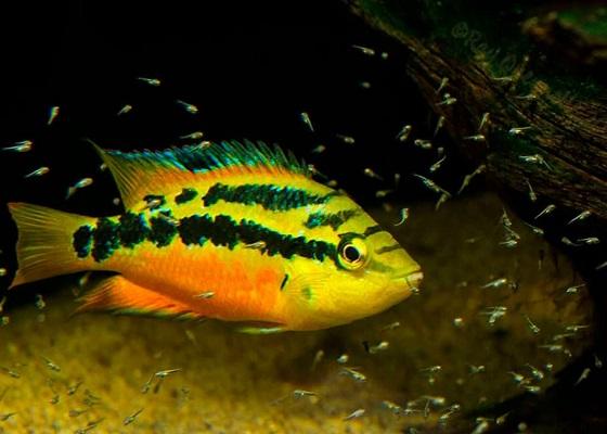 Цихлазома Сальвини в аквариуме