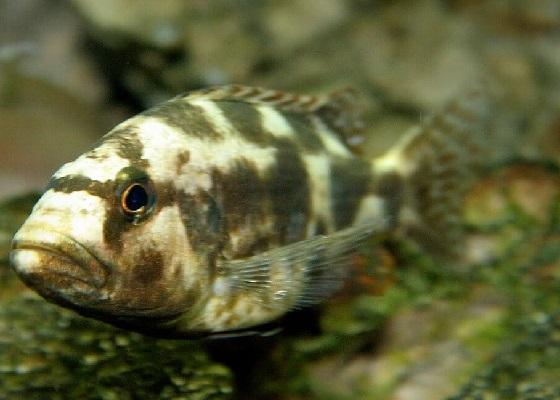 Хаплохромис ливингстона - Haplochromis livingstoni