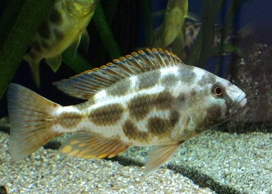 Хаплохромис ливингстона в аквариуме