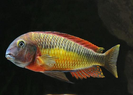 Tropheus moorii в аквариуме