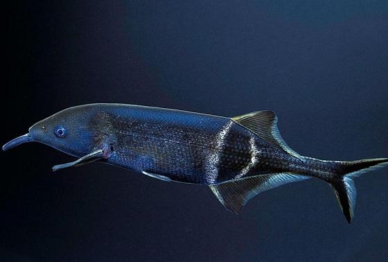 Рыбка Слоник нильский или слоник Петерса