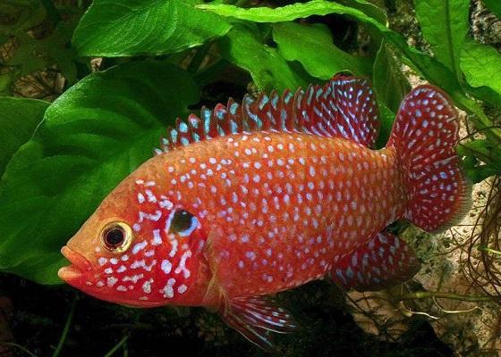 Аквариумная рыбка Хромис красавец