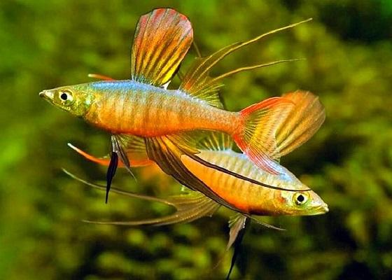 Рыбка Ириатерина Вернера