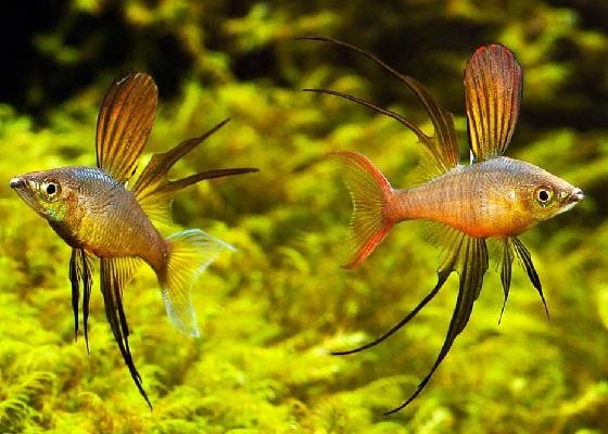 Iriatherina werneri в аквариуме