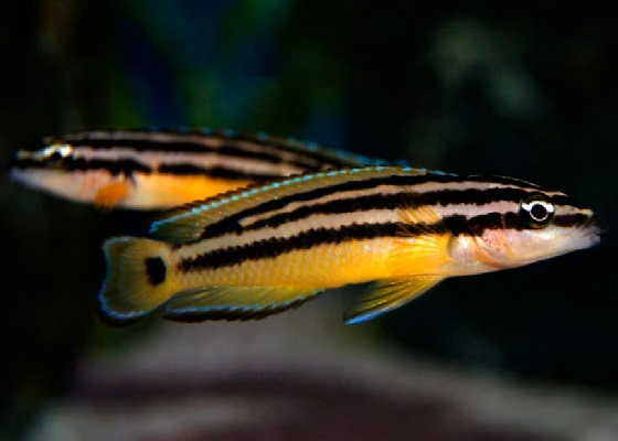 Юлидохромис орнатус - Julidochromis ornatus