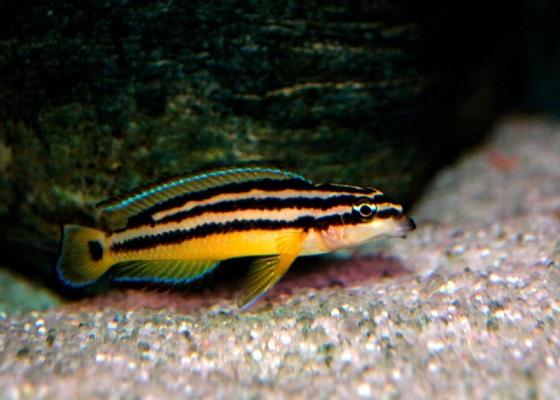 Юлидохромис орнатус в аквариуме