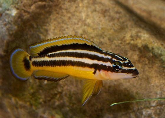 Julidochromis ornatus в аквариуме