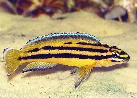 Юлидохромис Регана - Julidochromis regani