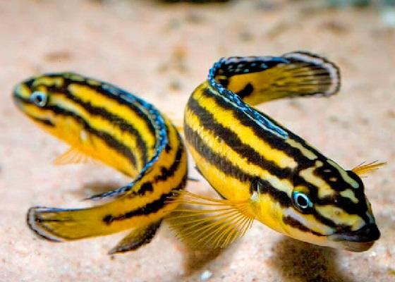 Юлидохромис Регана в аквариуме