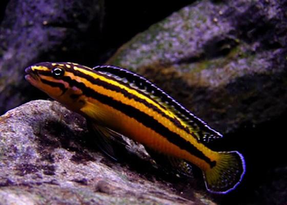 Julidochromis regani в аквариуме