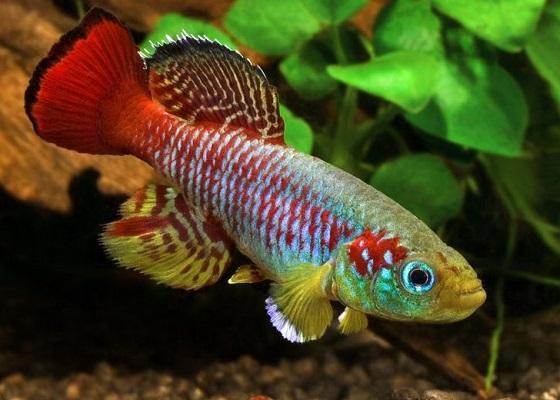 Нотобранхиус Гюнтера в аквариуме
