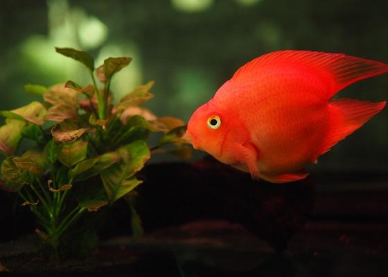 Рыба красный попугай - Red Blood Parrot Fish