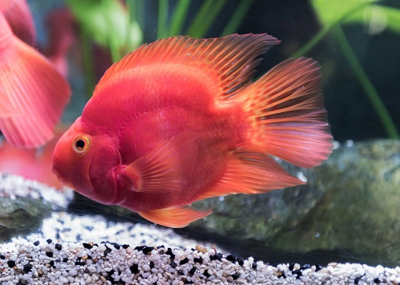 Фото - Red Blood Parrot Fish