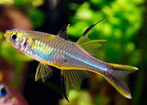 Рыбка Солнечный лучик
