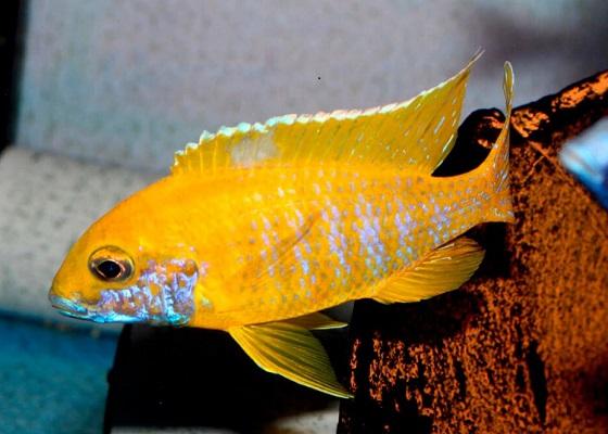 Аулонокара Бенша в аквариуме