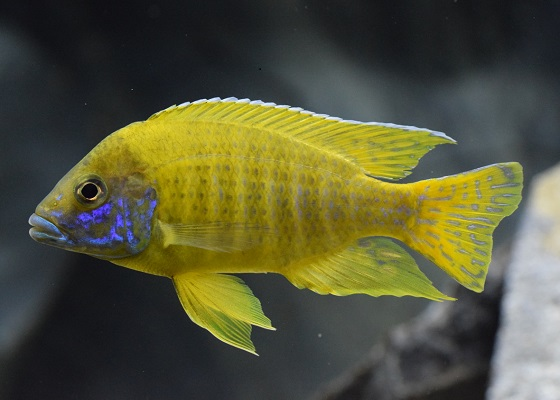 Aulonocara baenschi benga в аквариуме