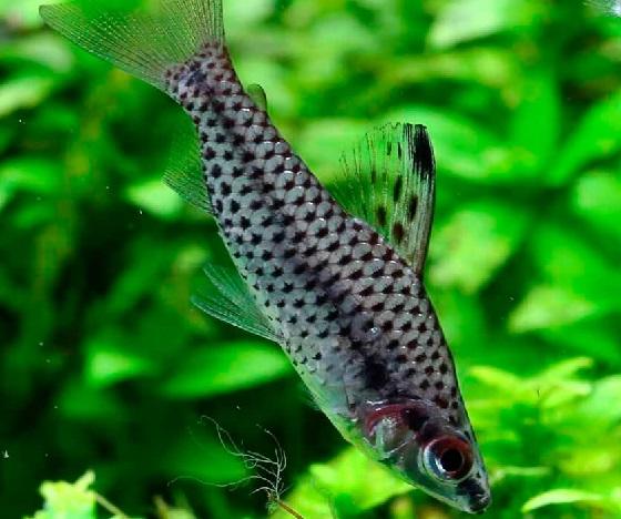 Рыбка Хилодус