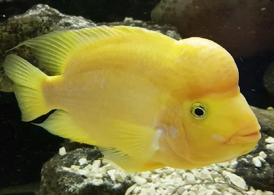 Лимонная цихлазома - Cichlasoma citrinellum