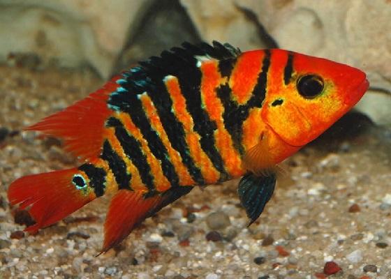 Оранжевая цихлазома - Nandopsis festae