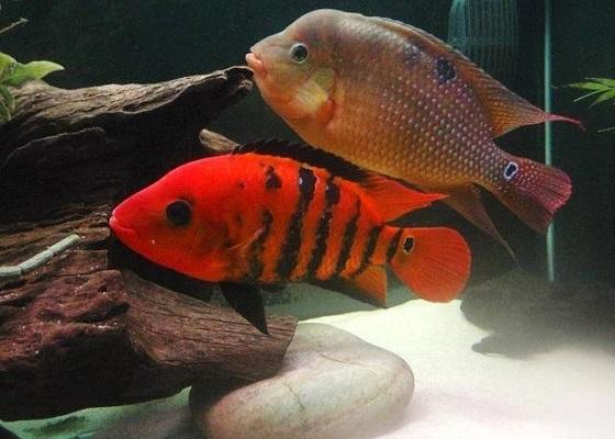 Оранжевая цихлазома в аквариуме
