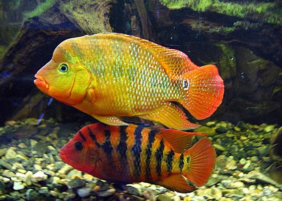 Цихлазома Феста в аквариуме