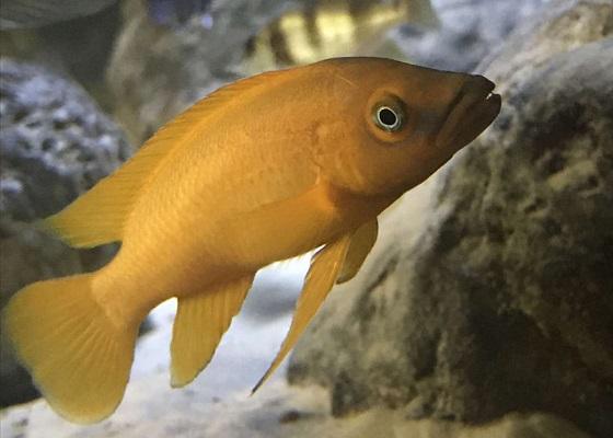 Апельсиновый лампрологус в аквариуме