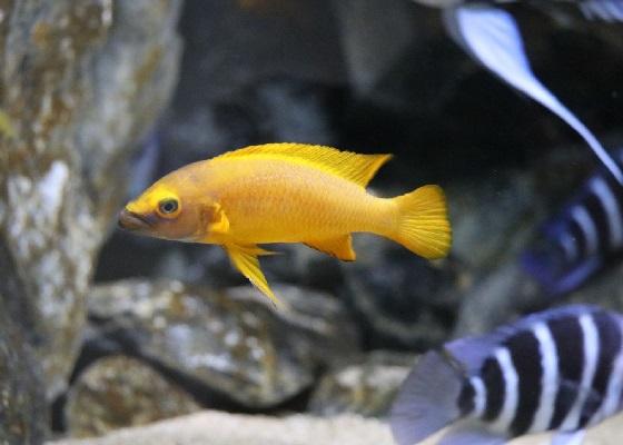 Фото - Апельсиновый лампрологус или Neolamprologus leleupi